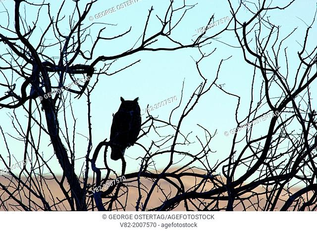 Great horned owl (Bubo virginianus) silhouette, Summer Lake Wildlife Area, Oregon Outback Scenic Byway, Oregon