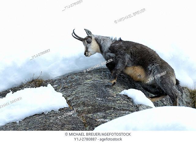 Chamois, Rupicapra rupicapra, Gran Paradiso National Park, Alps, Italy, Europe