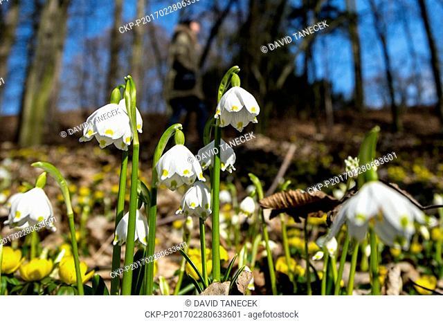 Thousands of Spring snowflakes (Leucojum vernum) bloom in Kostelec nad Orlici, Hradec Kralove Region, Czech Republic, on Tuesday, February 28, 2017