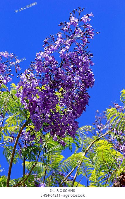 Jacaranda Tree, (Jacaranda mimosifolia), blooming, Western Cape, South Africa, Africa