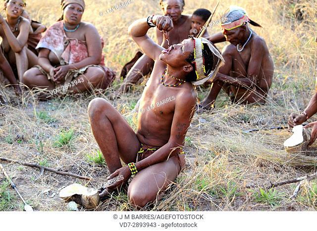 San or bushman man drinking water extracted from a desert tuber. Tsumkwe, Otjozondjupa, Namibia