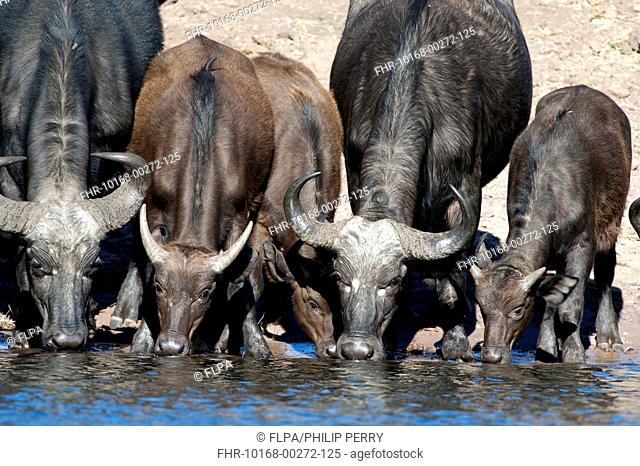African Buffalo (Syncerus caffer caffer) adult females and calves, drinking from river, Chobe River, Chobe N.P., Botswana, June