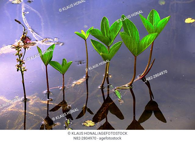Stems and petioles of Bogbean or Buckbean plant (Menyanthes trifoliata) are hollow, so the plant gets buoyancy and floats at the swamp habitat - Hesselberg...