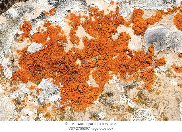 Elegant sunburst lichen (Xanthoria elegans) is a foliose lichen with a colorful red thallus. Is present an alpine distribution on all continents