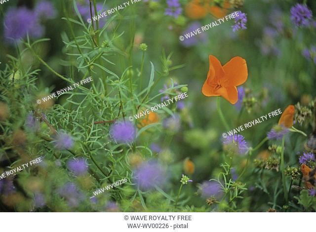 Orange California poppy in meadow, with blurry purple flowers, Whistler, B C