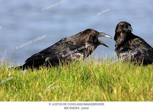 Couple of common ravens (Corvus corax)