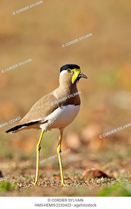 India, Karnataka state, Sandur Mountain Range, Yellow-wattled lapwing (Vanellus malabaricus)