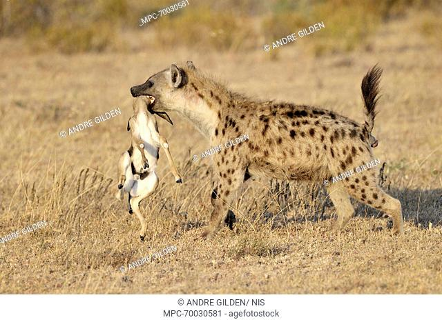 Spotted Hyena (Crocuta crocuta) walking with Thomson's Gazelle (Eudorcas thomsonii) in its mouth, Lake Ndutu, Serengeti National Park, Tanzania