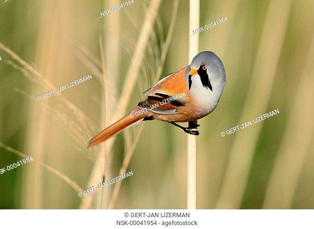Bearded Tit (Panurus biarmicus) male perched on a reed stem, The Netherlands, Flevoland, Dronten, Vossemeer