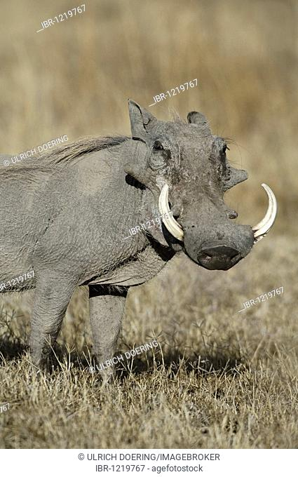 Male warthog (Phacochoerus africanus) with big tusks, Ndutu, Ngorongoro, Tanzania, Africa