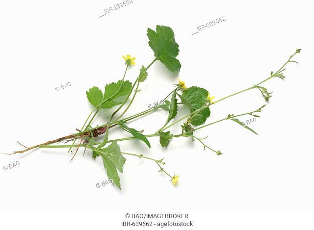 Tormentil or Septifoil (Potentilla erecta, Potentilla tormentilla), medicinal plant