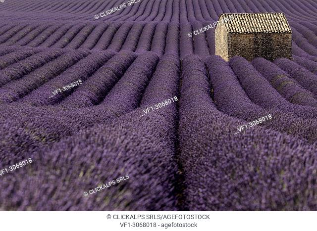 Lone house in a lavender field, Valensole, Provence, France