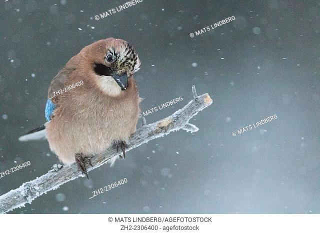 Eurasian jay sitting on a stick in snowfall in Gällivare, Swedish lapland