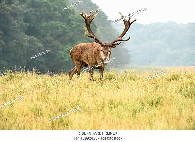 Red deer, rut