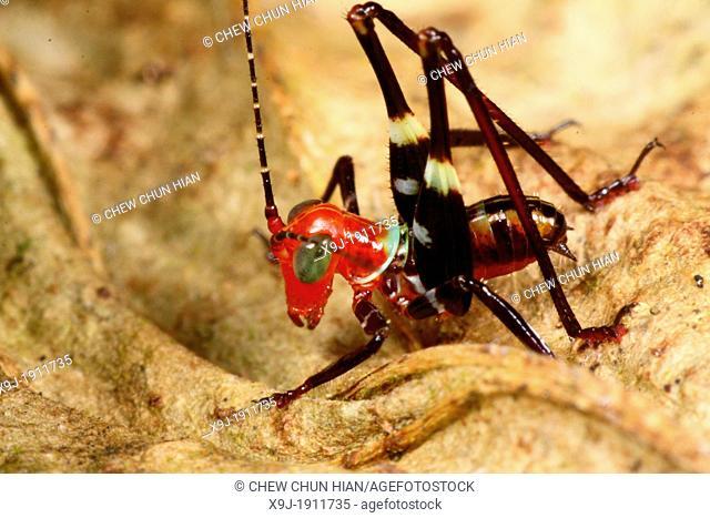 Grasshopper of borneo, Shrimp of dry land. Conocephalus melas