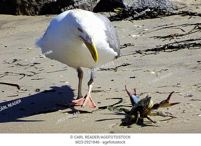 A glaucous gull, Larus hyperboreus, has flown in with a blue-legged crab and gets set to attack it, New Jersey, USA