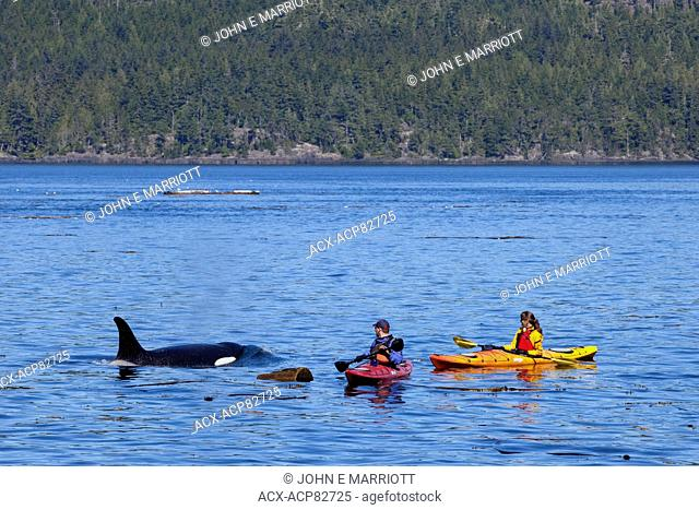 Orca and kayakers in Johnstone Strait, BC, Canada