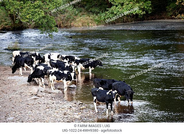 Cattle drinking and standing in the River Rawthey near Sedbergh, Cumbria, UK. (Photo by: Wayne Hutchinson/Farm Images/UIG)