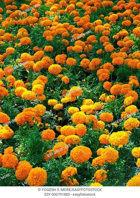 Field of Tagetes erecta, African Marigold, Maharashtra, India