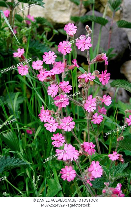Pink wild flowers, Somiedo National Park, Asturias, Spain, Europe