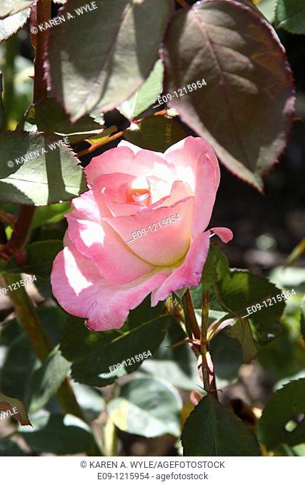 pink rose among rose leaves, dappled sunlight, Los Angeles, CA