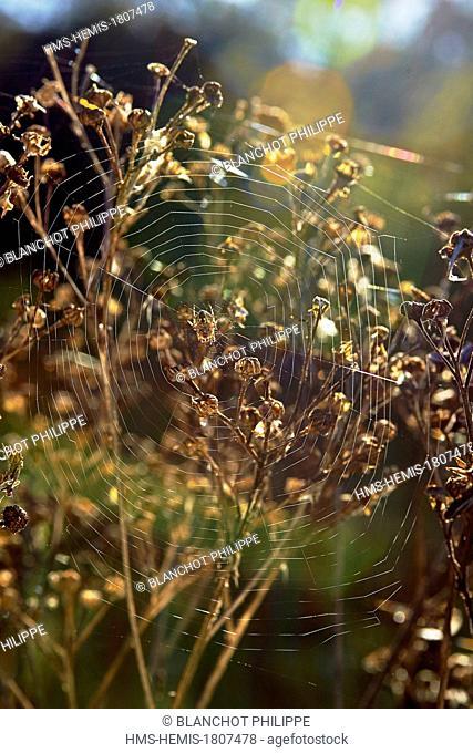 France, Morbihan, Araneae, Araneidae, European garden spider (Araneus diadematus) on its spiral orb web