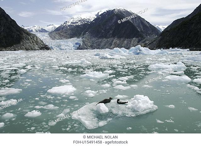 Two Harbor Seals Phoca vitulina resting on ice calved from the Sawyer Glacier, a tidewater glacier at the end of Tracy Arm in Southeast Alaska, USA