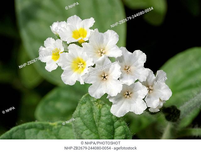 Close-up of Heliotrope flowers (Heliotropium europaeum) growing on waste ground in Kyrenia North Cyprus