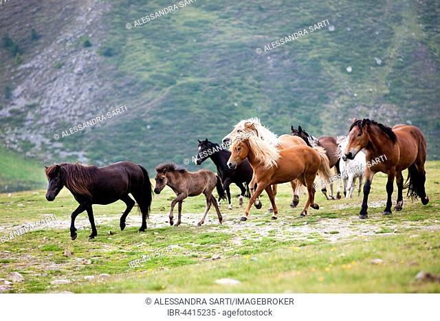 Mixed herd of Icelandic, Noriker, Pony, and Haflingers, Kühtai, Tyrol, Austria