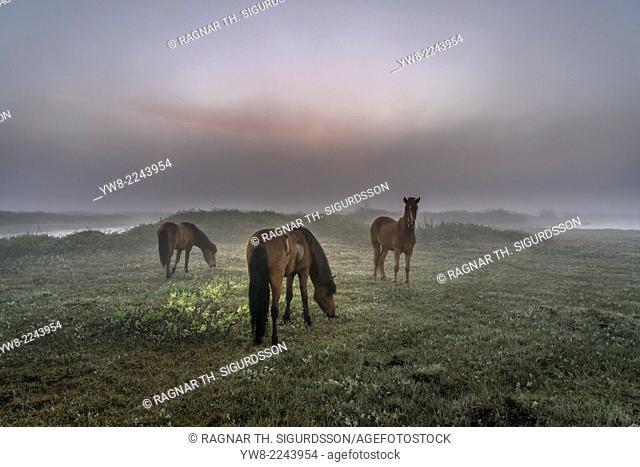 Horses grazing, foggy evening, Lake Myvatn, Northern Iceland