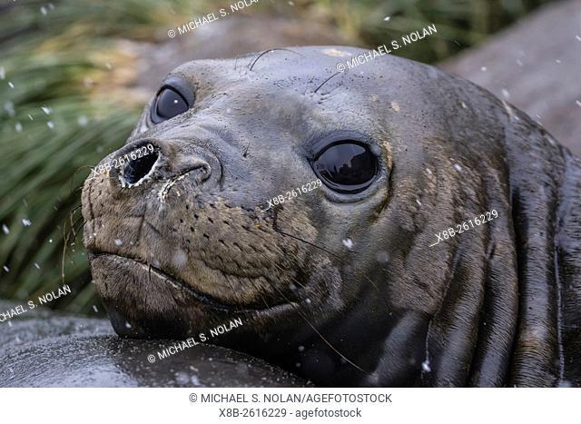 Southern elephant seal, Mirounga leonina, molting in Gold Harbor, South Georgia, UK Overseas Protectorate