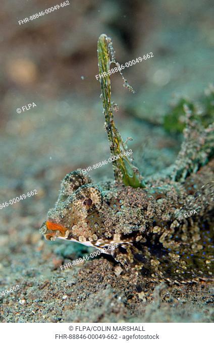 Dragonet (Dactylopus kuiteri), on black sand displaying fin, Segara dive site, Seraya, Bali, Indonesia
