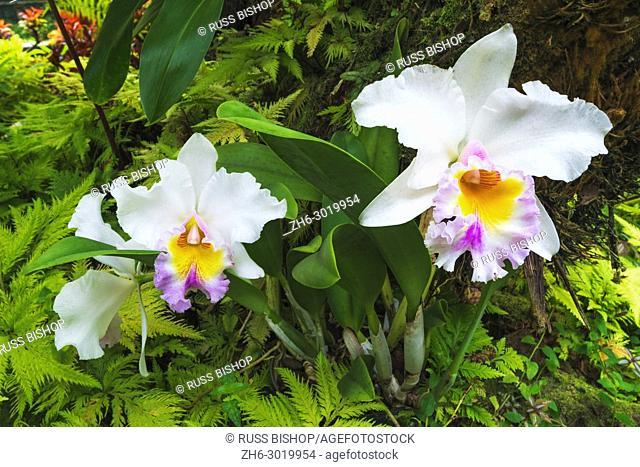 Orchids at the Hawaii Tropical Botanical Garden, Hamakua Coast, The Big Island, Hawaii USA