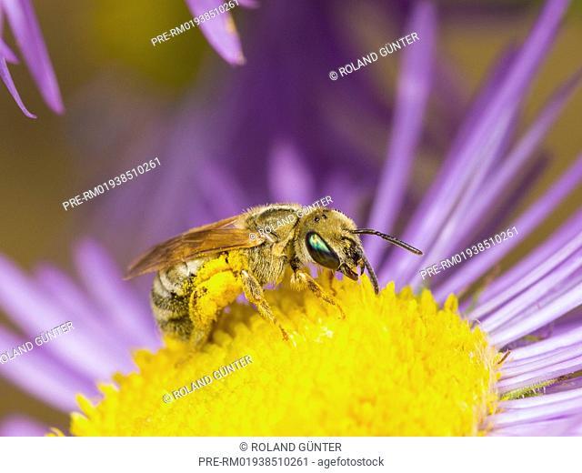 Halictus subauratus sitting on annual fleabane blossom (Erigeron annuus), female / Goldglänzende Furchenbiene (Halictus subauratus) sitzt auf Feinstrahl-Blüte...