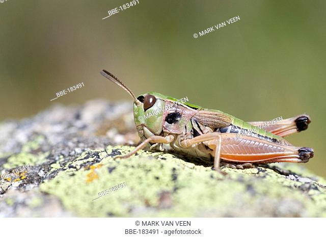 Gomphoceridius brevipennis is an endemic grasshopper for the central and eastern parts of the Pyrenees, occurring above 2000m of altitude