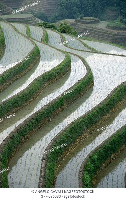 Terraced rice fields. Guilin. Longsheng. Guangxi Province. China
