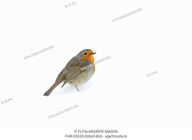 European Robin (Erithacus rubecula) adult, standing in snowdrift on snow covered heathland, Cannock Chase, Staffordshire, England, January