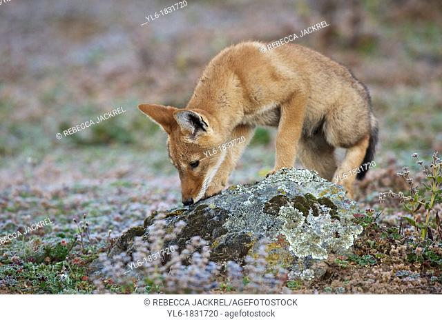 Ethiopian wolf pup sniffing a rock