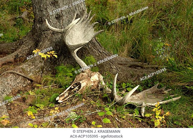 Moose Skull laying on boreal forest floor near Lake Superior, Canada