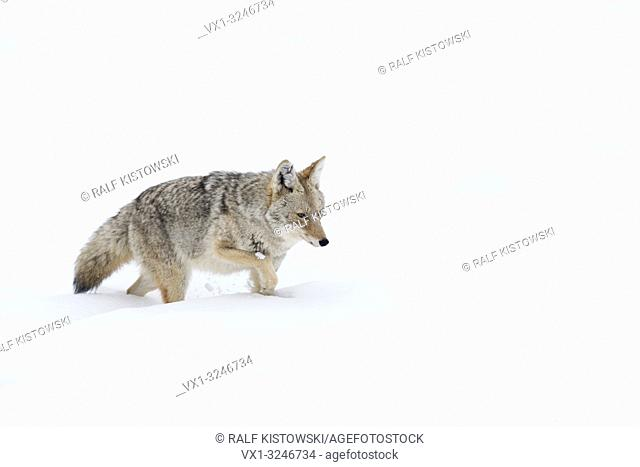 Coyote / Kojote ( Canis latrans ) in winter, walking through deep snow, seems to be exhausted, Yellowstone Area, Wyoming, USA.