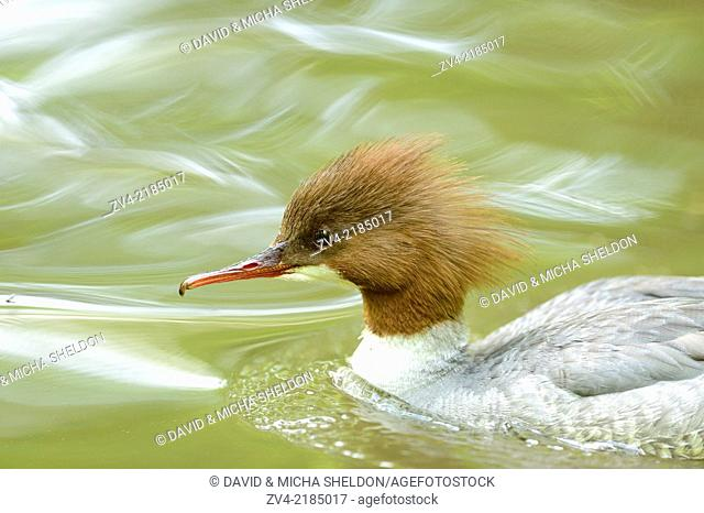 Close-up of a common merganser goosander (Mergus merganser) swimming in the water in spring