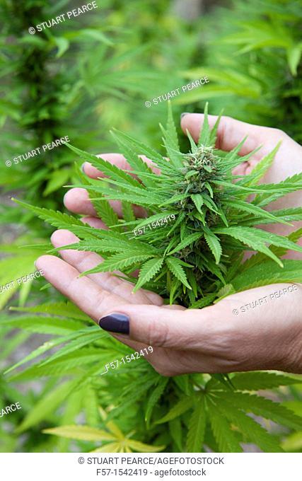 Marijuana Plant in Bloom