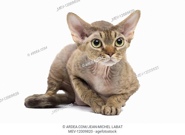 Devon Rex kitten in the studio