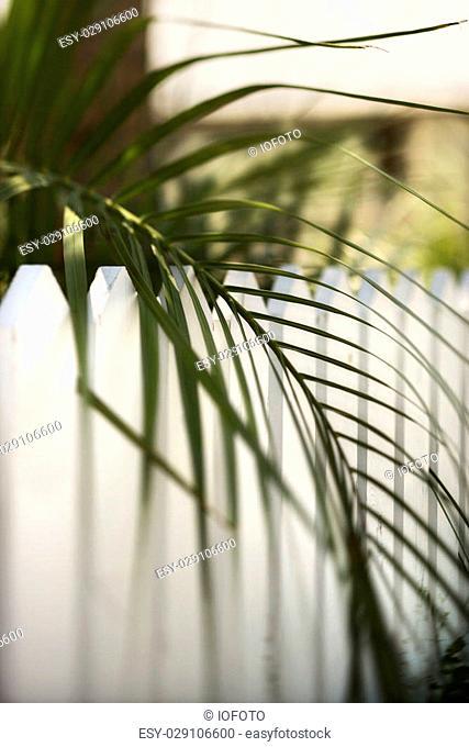 Palm frond leaf hanging over white picket fence on Bald Head Island, North Carolina