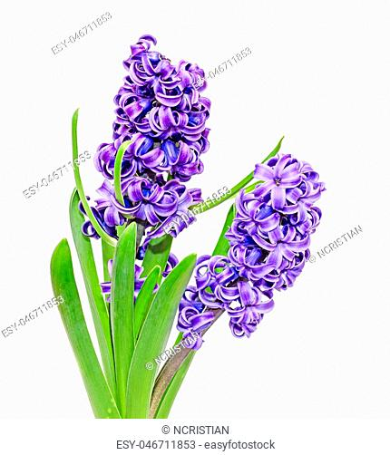 Two branch blue mauve Hyacinthus orientalis flowers, garden hyacinth isolated on white background