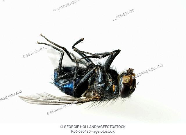 Dead fly. UK
