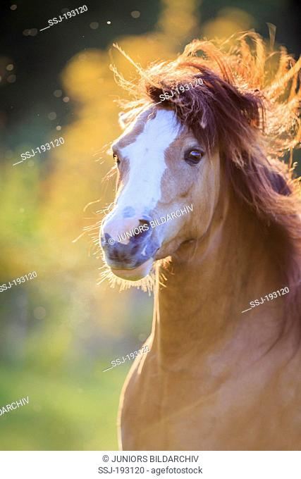Welsh Pony (Section B). Dun mare shaking her head. Austria