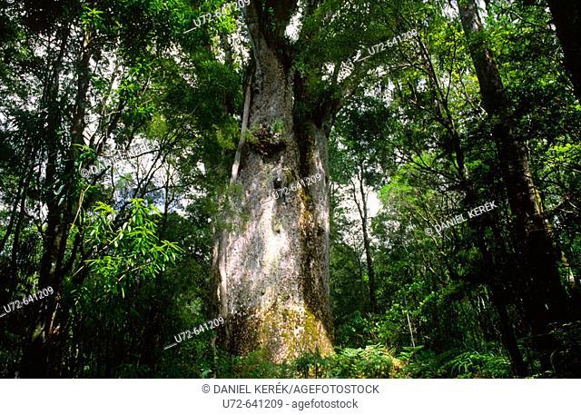 Te Matua Ngahere, Waipoua Kauri Forest, Northland, North Island, New Zealand