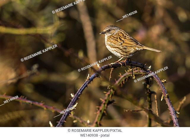 Germany, Saarland, Bexbach, A dunnock is sitting on a branch