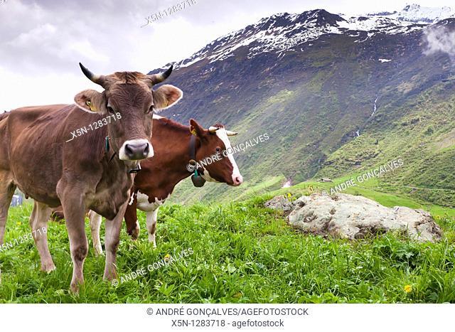 Cow, Switzerland